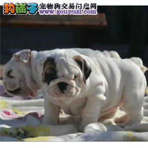 纯种英国斗牛犬幼犬出售 品相好 包纯种健康可签协议