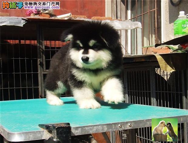 正规基地直销熊版阿拉斯加幼犬 保健康纯种签售后协议
