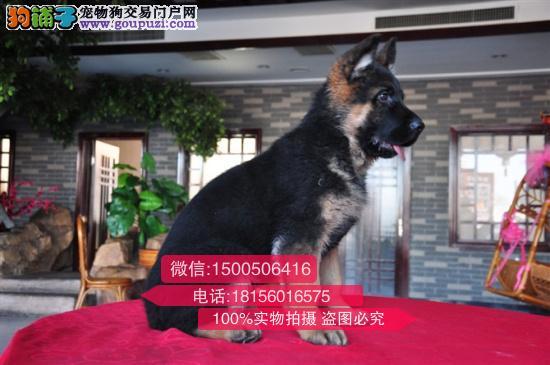 南京哪里可以买到好的狼狗南京哪里有狗场出售狼狗价格