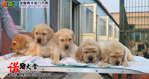 专业繁殖拉布拉多幼犬 购买签售后协议 可送货上门