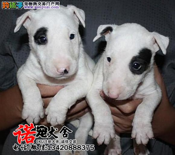 专业繁殖牛头梗幼犬 购买签售后协议 可送货上门