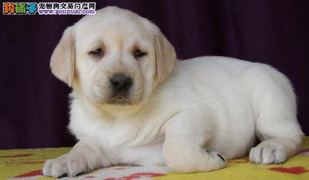 出售阿拉布拉多犬颜色多种 健康质保 可上门挑选
