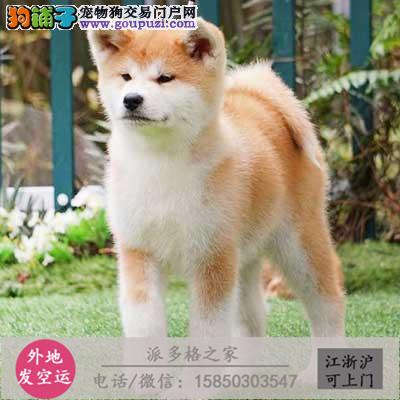cku认证犬舍出售高品质秋田宝宝 签协议证件齐全