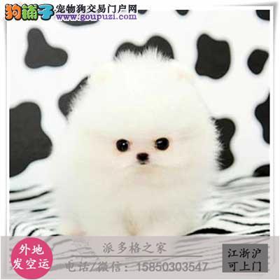 cku认证犬舍出售高品质 博美宝宝签协议证件齐全