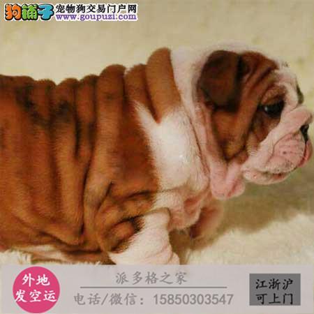 cku认证犬舍出售高品质 英国斗牛犬签协议证件齐全