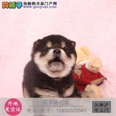 cku认证犬舍出售高品质黑柴犬 签协议证件齐全
