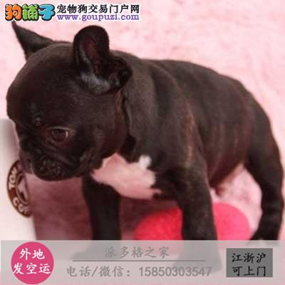 cku认证犬舍出售高品质法国斗牛犬 签协议证件齐全