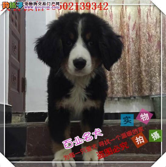 cku认证犬舍出售高品质伯恩山犬 签协议证件齐全