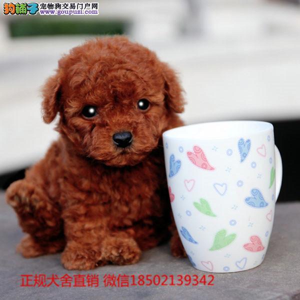 cku认证犬舍出售高品质茶杯宝宝 签协议证件齐全