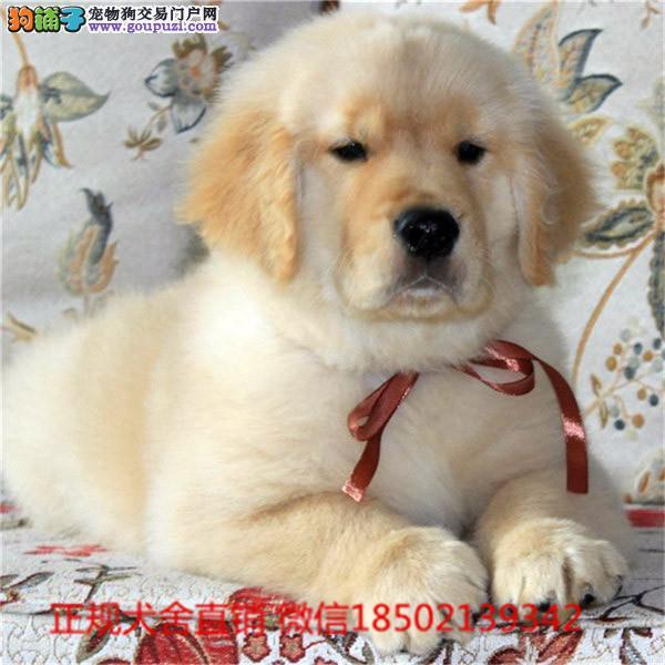 cku认证犬舍出售高品质金毛犬 签协议证件齐全
