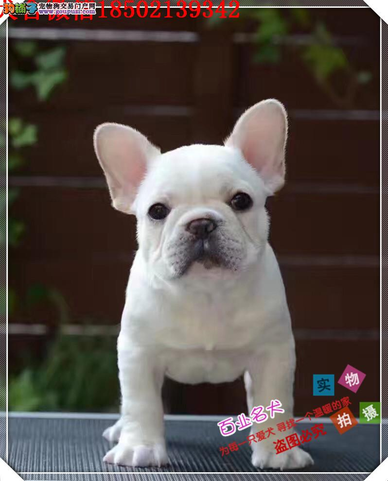 cku认证犬舍出售高品质法斗签协议证件齐全