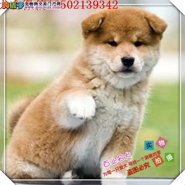 cku认证犬舍出售高品质 柴犬宝宝签协议证件齐全