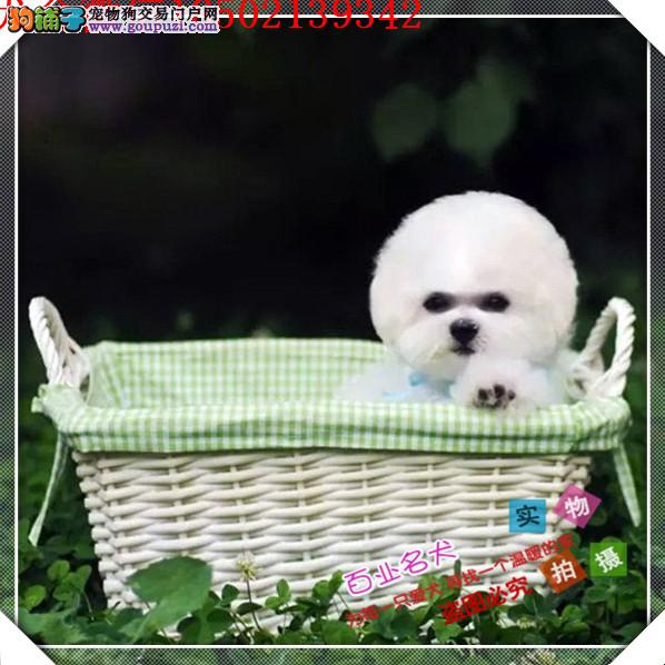 cku认证犬舍出售高品质 比熊犬签协议证件齐全