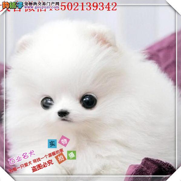 cku认证犬舍出售高品质 俊介签协议证件齐全