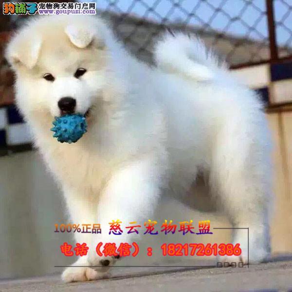 犬舍直销杜宾专业繁殖包纯种 三年质保 包养活