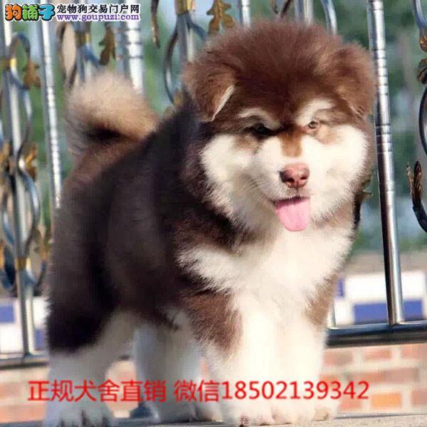 cku认证犬舍出售高品质熊版阿拉斯加 签协议证件齐全