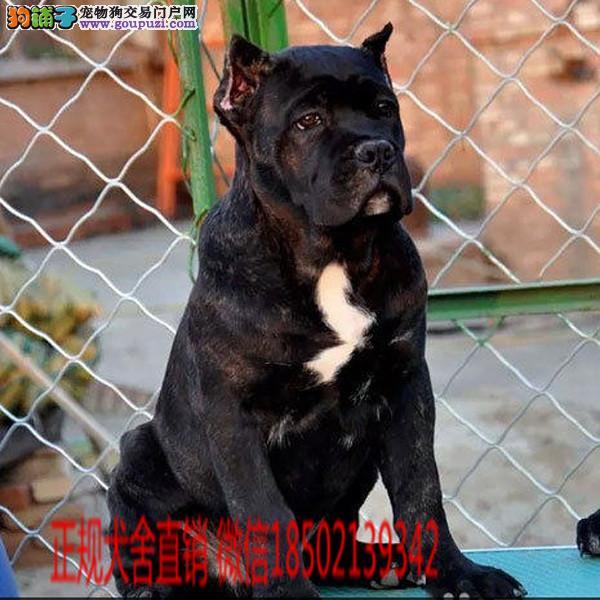 cku认证犬舍出售高品质大骨架卡斯罗 签协议证件齐全