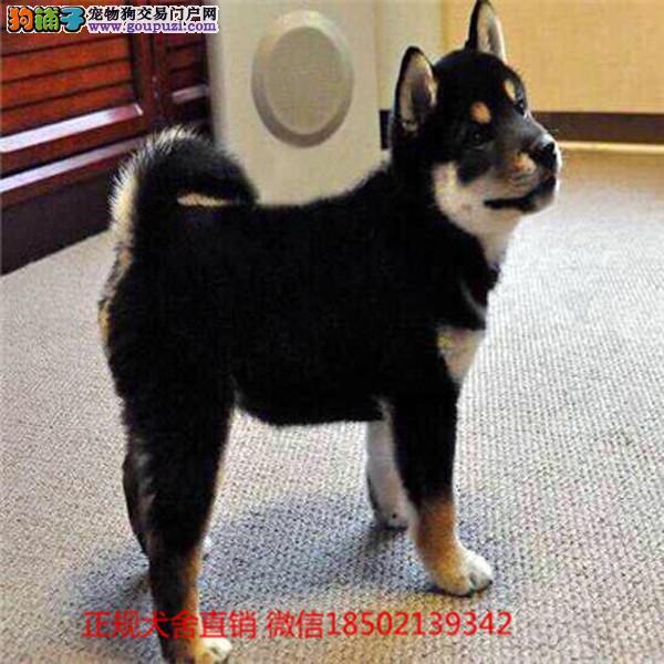 cku认证犬舍出售高品质小黑柴犬 签协议证件齐全