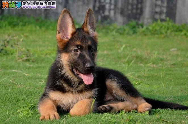 锤系德国牧羊犬出售大头黑脸方嘴大腮皮 品相极佳