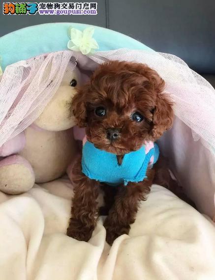 顶级 高品质的泰迪幼犬出售了 疫苗做完 质量三包