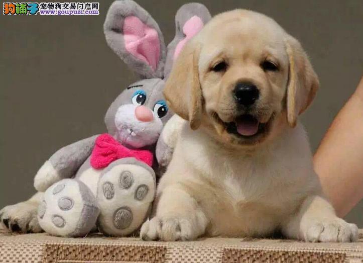 纯种拉布拉多幼犬 性格温顺拉布拉多 欢迎上门挑选
