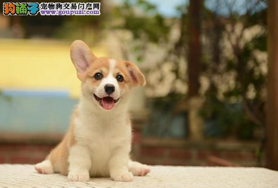 纯种柯基幼犬 纯种柯基多少钱 柯基价格 完美售后