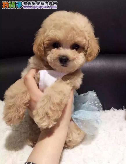 纯种韩系泰迪熊 茶杯、玩具 可爱至极 购买可签订