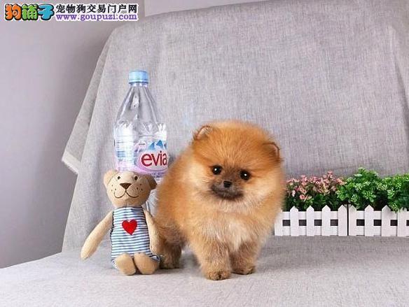 狗场直销 精品博美犬宝宝 健康纯种 签订协议
