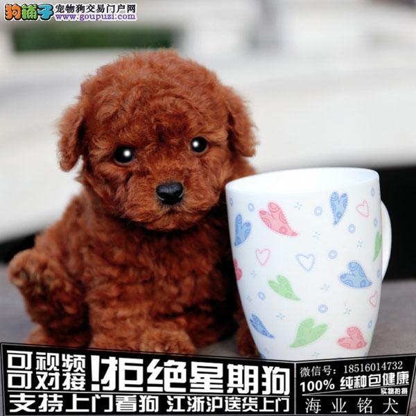 cku认证犬舍出售极品泰迪幼犬 签协议保健康