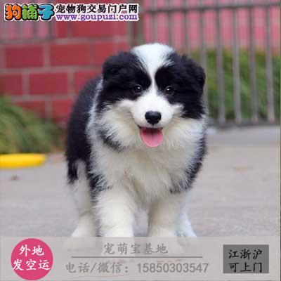 cku认证犬舍出售极品边牧宝宝 签协议保健康