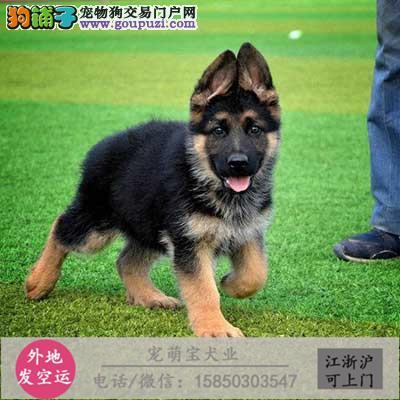 CKU认证犬舍专业出售高品质狼狗 包纯种 包健康