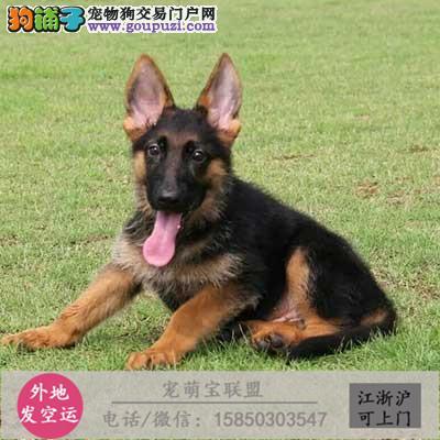 cku认证犬舍出售极品德牧犬 签协议保健康