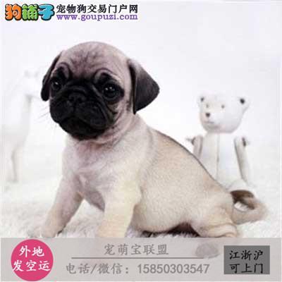 cku认证犬舍出售极品巴哥犬 签协议保健康