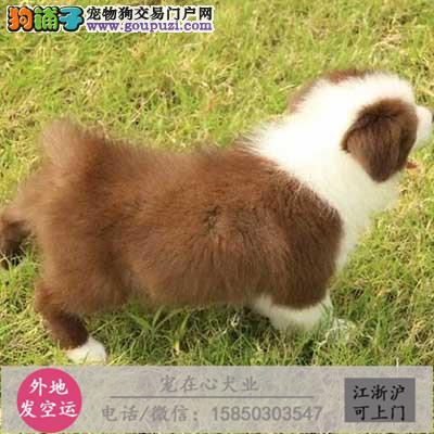 CKU认证犬舍专业出售高品质边牧幼犬包纯种包健康