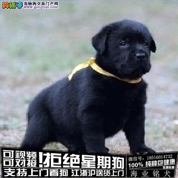 CKU认证犬舍 专业出售高品质拉布拉多幼犬包纯种包健康