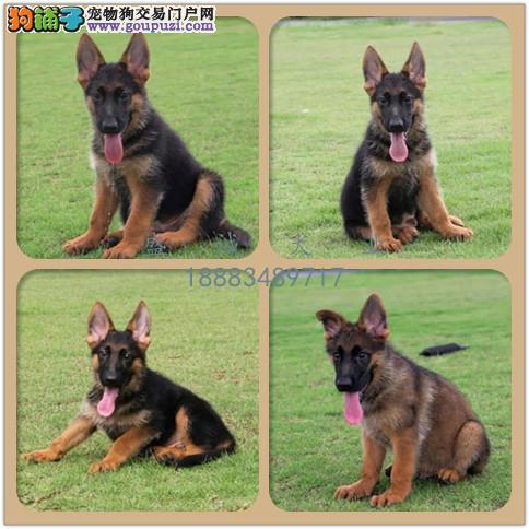 出售纯种德牧犬 自家养殖 当面测试交易同城免费送狗