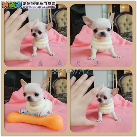 出售纯种吉娃娃 自家养殖的 当面测试同城免费送狗