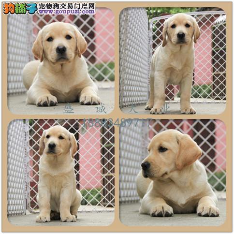 出售纯种拉布拉多 自家养殖的 当面测试同城免费送狗