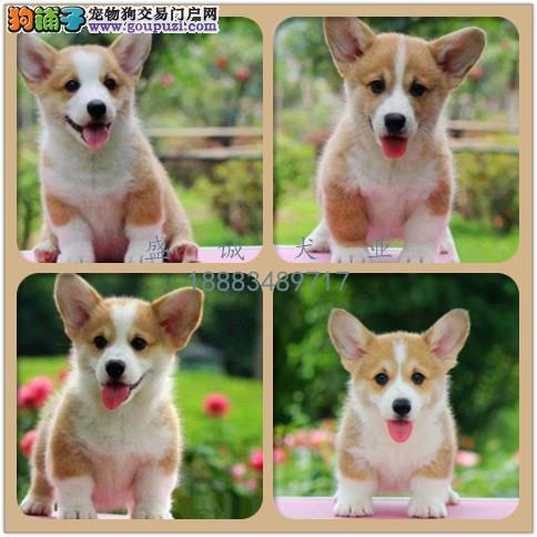 出售纯种柯基犬 自家养殖的 当面测试同城免费送狗