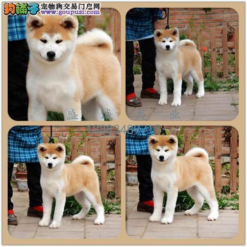出售纯种秋田犬 自家养殖的 当面测试同城免费送狗