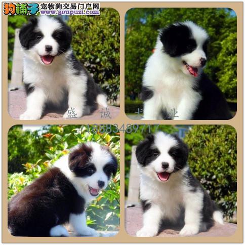 出售纯种边牧犬 自家养殖的 当面测试同城免费送狗