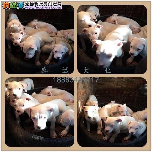 出售纯种杜高犬 自家养殖的 当场测试同城免费送狗