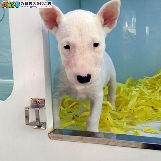 出售纯种牛头梗 自家养殖的 当面测试同城免费送狗