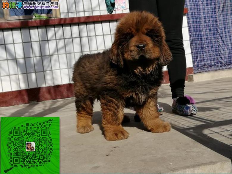出售纯种藏獒犬 自家养殖的 当面测试同城免费送狗