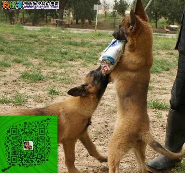 出售纯种马犬 自家养殖的 当面测试 同城免费送狗