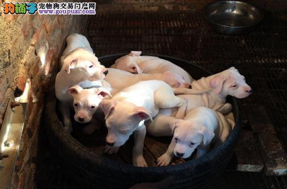 出售纯种杜高犬 自家养殖的 当面测试同城免费送狗
