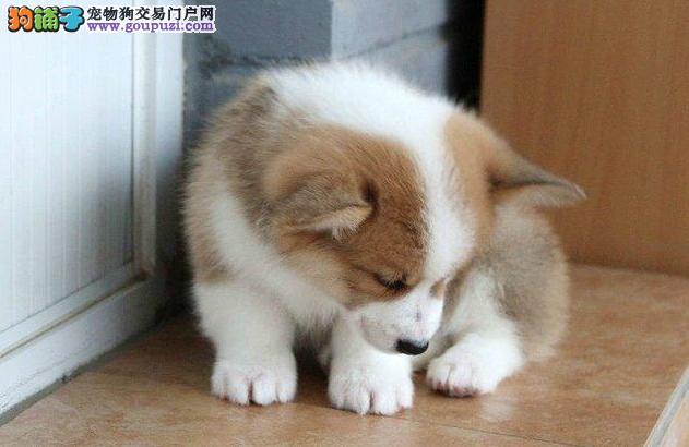 正规犬舍繁殖出售精品柯基犬 包健康纯种 疫苗齐全