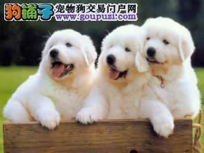 宠物繁殖基地常年出售大白熊幼犬