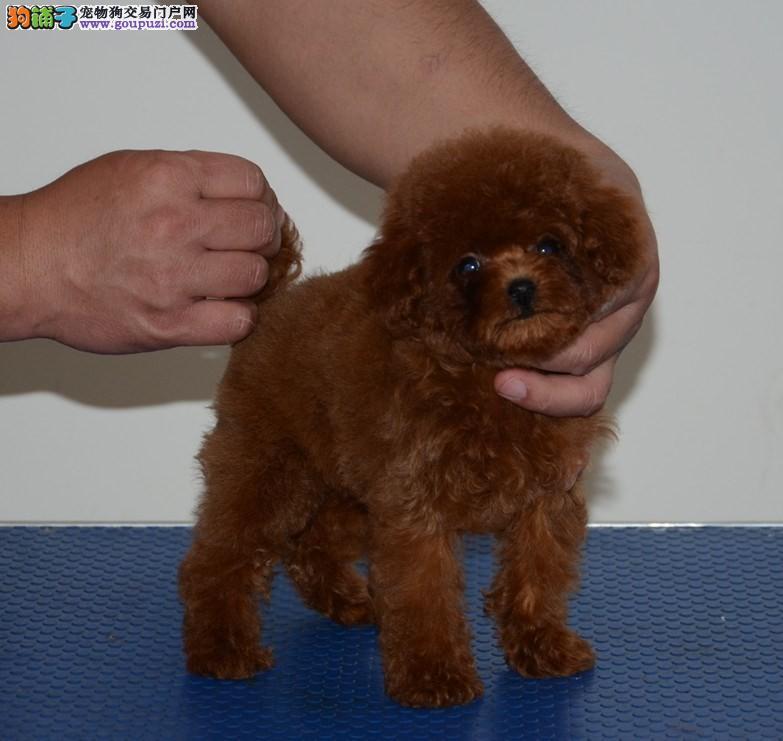 犬舍直售 泰迪犬 幼犬 可上门 驱虫疫苗已做