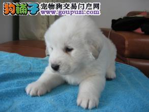 纯种憨厚雪白大白熊幼犬出售 骨架粗品相佳大白熊宝宝